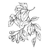 Vector Sorbus leaf and berries plant botanical garden floral foliage. Black and white engraved ink art. Isolated sorbus illustration element on white background.