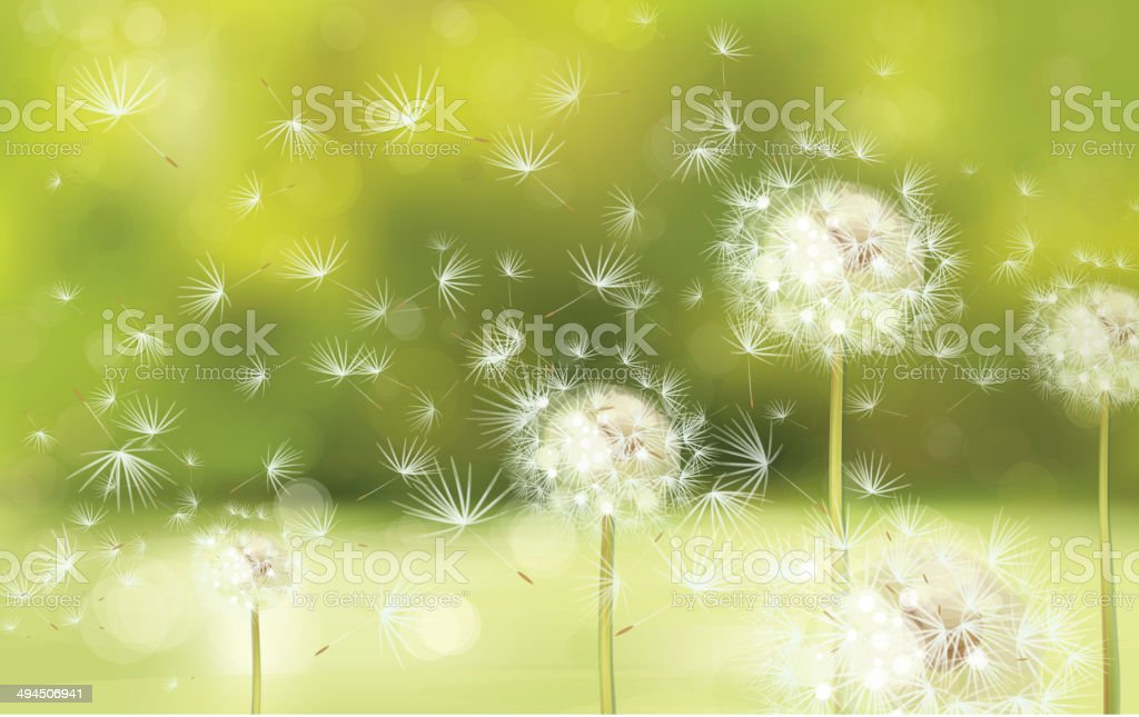 Vector spring background with white dandelions. royalty-free stock vector art
