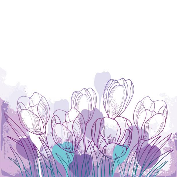 illustrations, cliparts, dessins animés et icônes de vecteur de bouquet de printemps avec contour violet crocus ou fleur de safran et feuille verte sur le fond pastel. - crocus