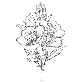 Vector stem of outline ornate Oenothera or evening primrose flower bunch with bud and leaf in black isolated on white background. Contour ornamental garden plant Oenothera for summer coloring book.