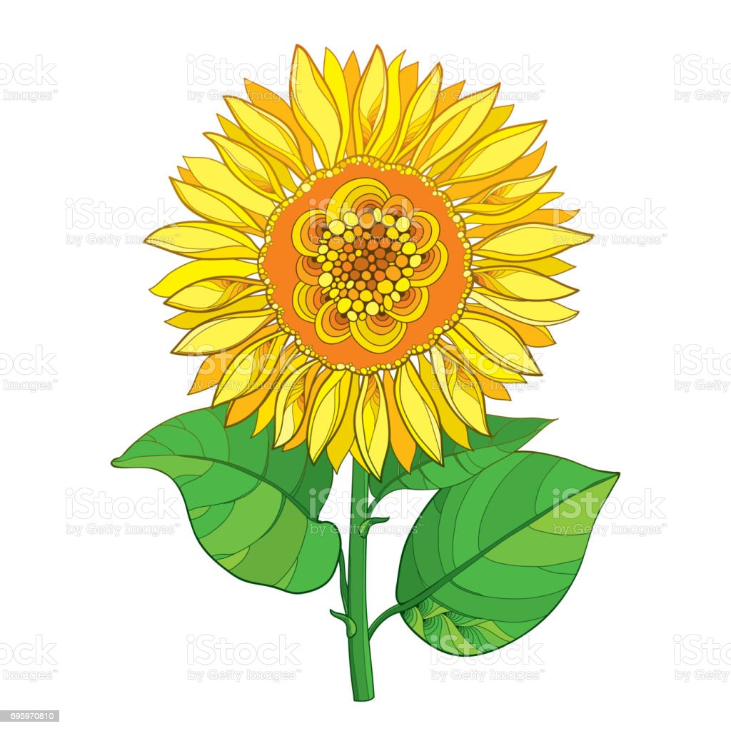 Vector Stem With Yellow Sunflower Or Helianthus Flower And Green