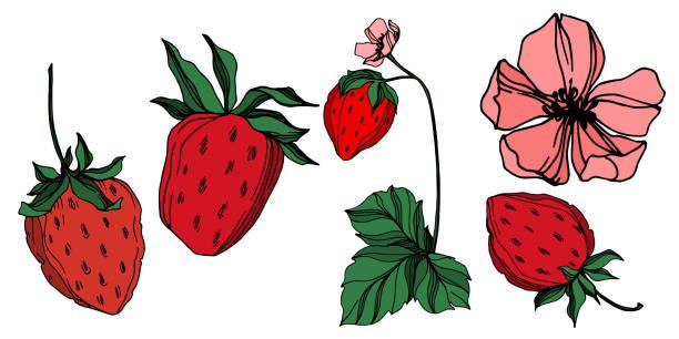 ilustrações de stock, clip art, desenhos animados e ícones de vector strawberry fresh berry healthy food. black and white engraved ink art. isolated strawberry illustration element. - natureza close up
