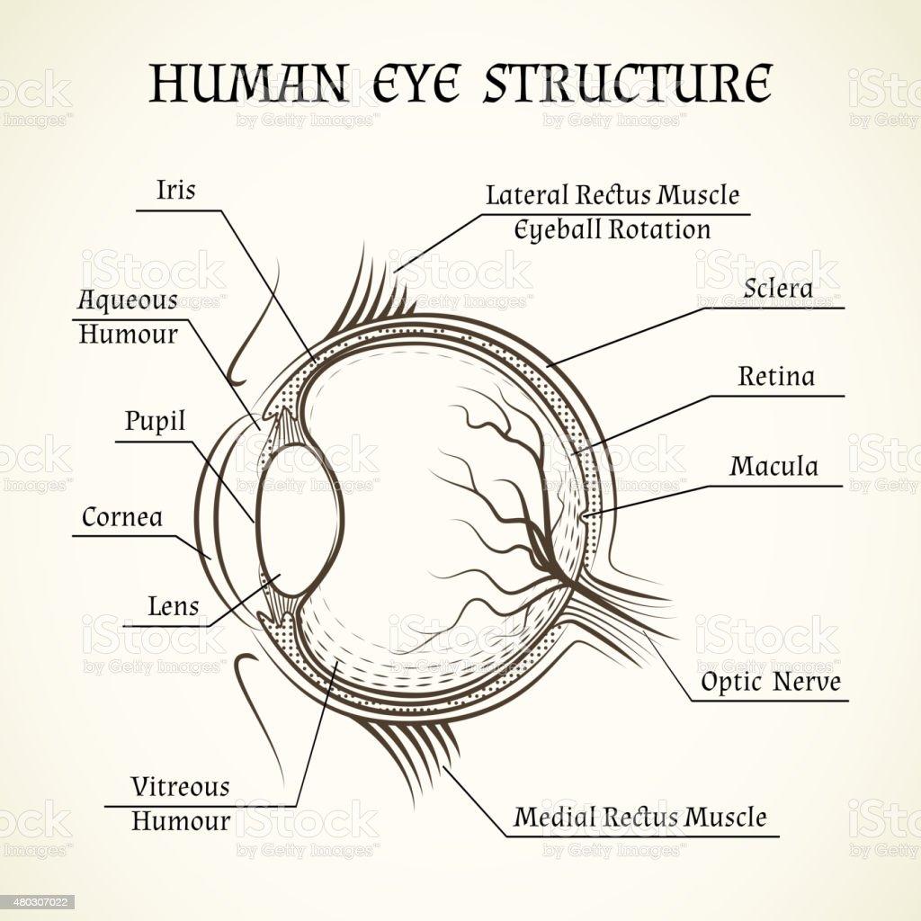 Beste Das Menschliche Auge Diagramm Ideen - Menschliche Anatomie ...