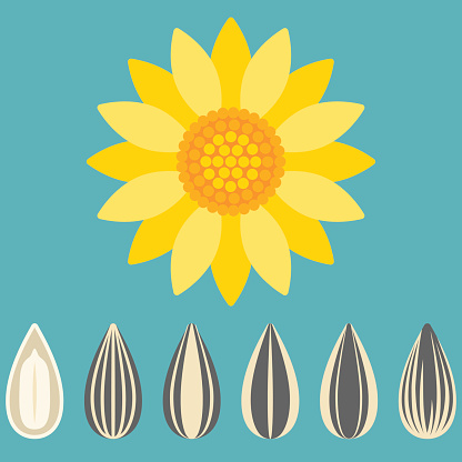 Vector sunflower and sunflower seed