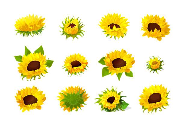vector sunflower seeds head flower set - sunflower stock illustrations