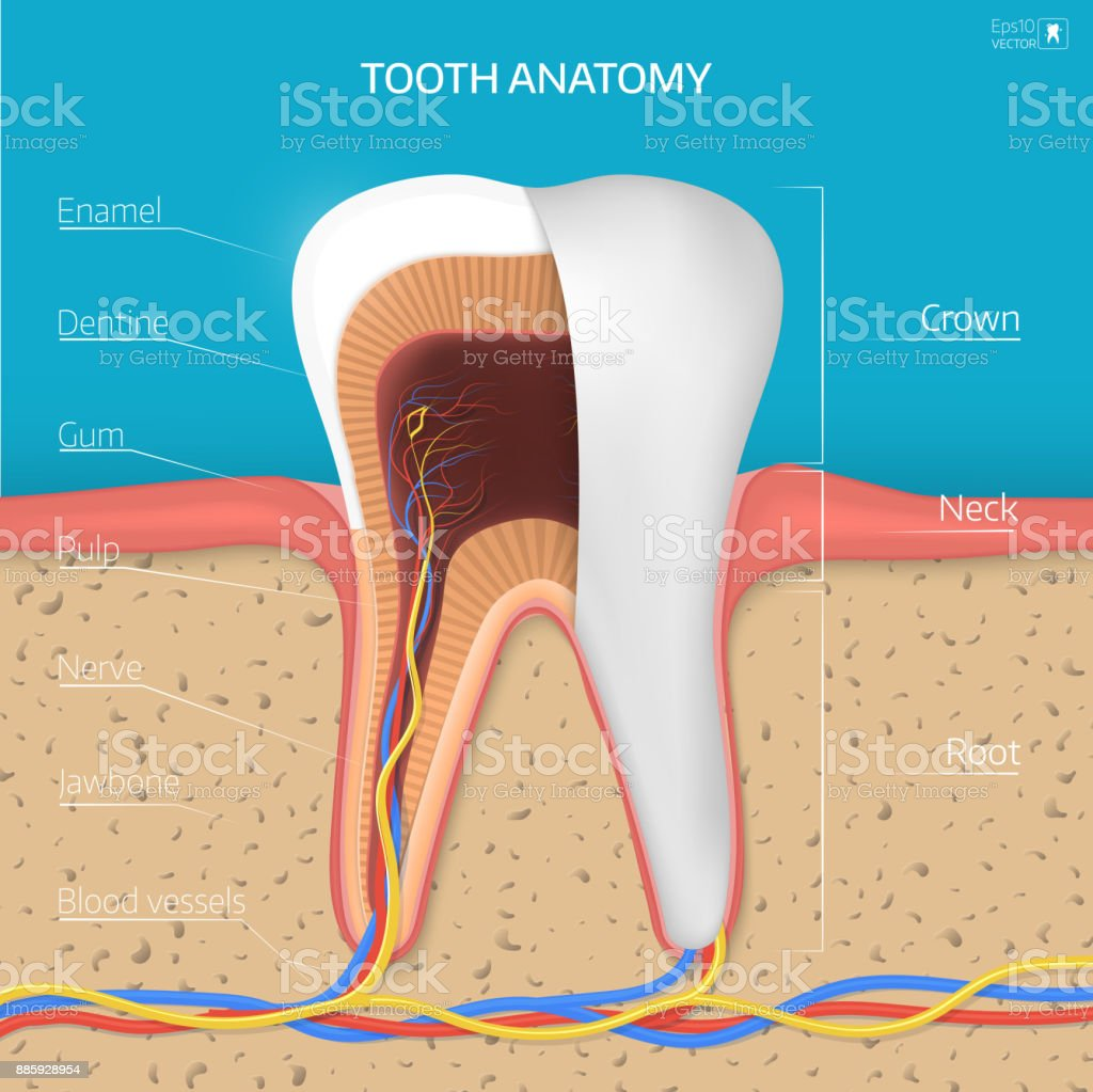 Vector Tooth Structure Cross Section Anatomy With All Parts Stock