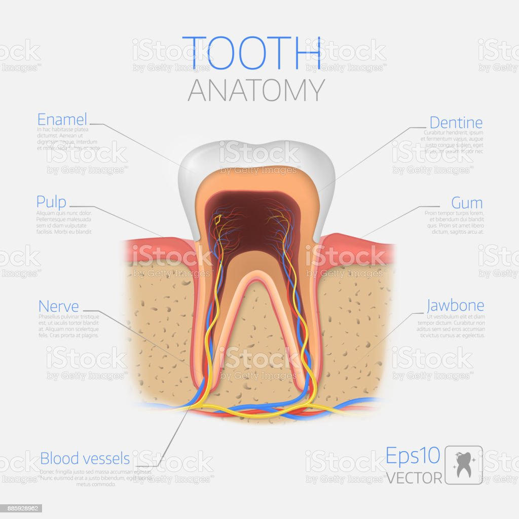 Vector Tooth Structure Cross Section Anatomy With All Parts Stock ...
