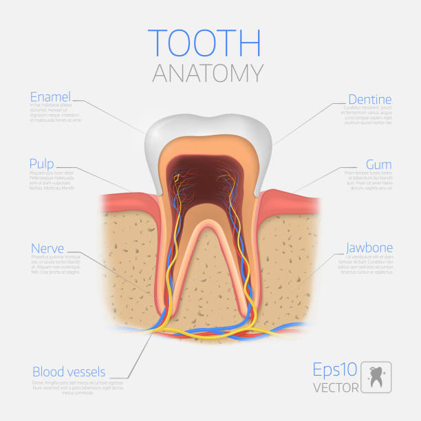 stockillustraties, clipart, cartoons en iconen met tand vectorstructuur. doorsnede anatomie met alle onderdelen. - dentine