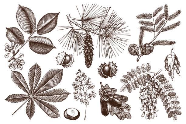 vektor-bäume kollektion - robinie stock-grafiken, -clipart, -cartoons und -symbole