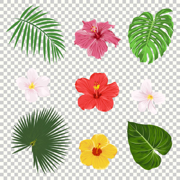 Vector tropical leaves and flowers icon set isolated on transparency grid background. Palm, banana leaf, hibiscus and plumeria flowers. Jungle tree design templates. Botanical and floral collection Vector illustration of tropical leaves and flowers icon set isolated on transparency grid background. Palm leaf, banana leaf, hibiscus and plumeria flowers. Jungle tree design templates. Botanical and floral collection. frangipani stock illustrations