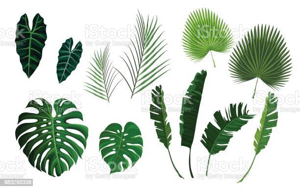Vector tropical palm leaves jungle leaves set vector id683293338?b=1&k=6&m=683293338&s=612x612&h=atzrqvwrzt5uxe1vdxhfftfqcagod on1im1czgd71m=