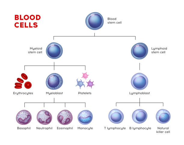 Vector types of blood cells. Erythrocytes, eosinophil, neutrophil, plateletes, leukocytes, lymphocytes, monocytes, basophil etc. Educational chart Vector types of blood cells. Erythrocytes, eosinophil, neutrophil, plateletes, leukocytes, lymphocytes, monocytes, basophil etc. Educational chart red blood cell stock illustrations