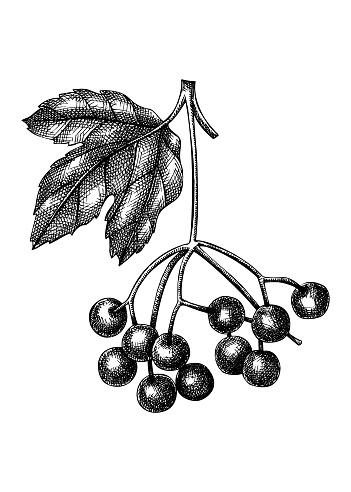 Vector viburnum sketch