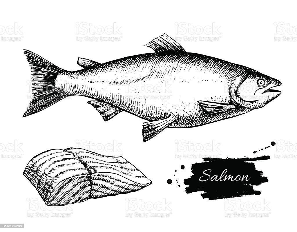 Vector vintage salmon drawing. Hand drawn monochrome seafood ill vector art illustration