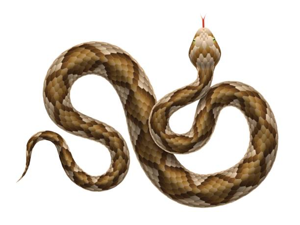 Vector viper snake isolated on white background. Vector illustration of viper snake isolated on white background. amphibians stock illustrations