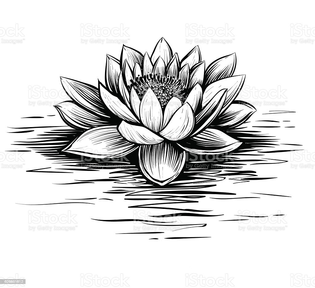 Vector Water Lily Black And White Stock Vector Art & More Images of ...