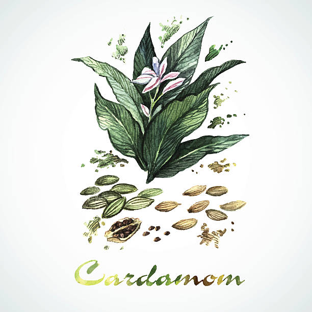 Vector watercolor cardamom Vector watercolor cardamom. Botanical Illustration. Watercolor. Vector illustration. Illustration for greeting cards, invitations, and other printing projects. cardamom stock illustrations