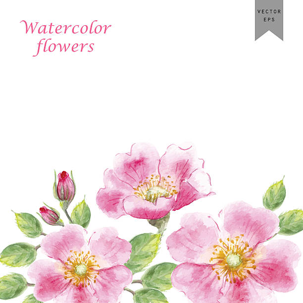 Vector watercolor flower background with wild rose Vector watercolor flowers. Hand drawn wild rose flower, leaves, buds composition for romantic background, wedding card or decoration wild rose stock illustrations
