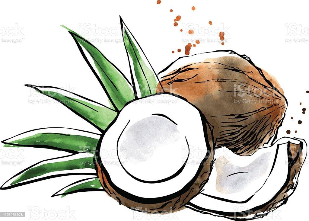 Vector watercolor illustration of coconut vector art illustration
