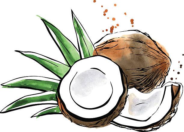 ilustrações, clipart, desenhos animados e ícones de aquarela de vetor ilustração de coco - coqueiro