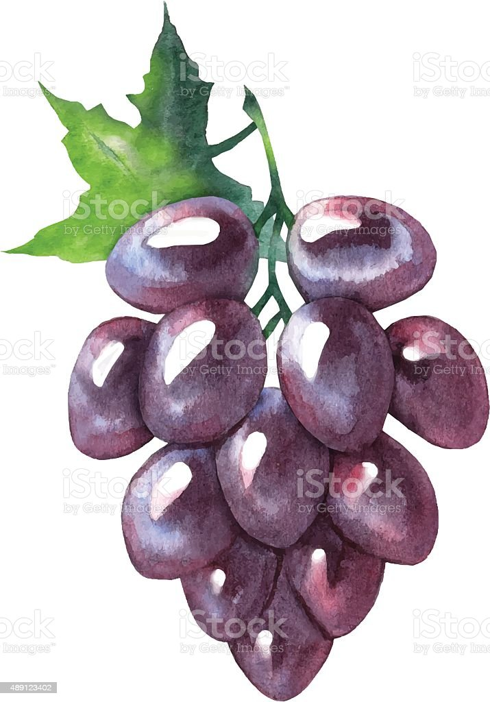 Vector watercolor sketch of grapes. vector art illustration