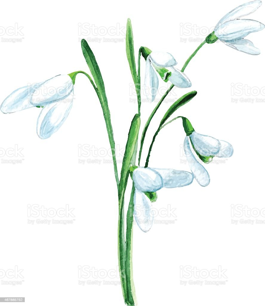 vector watercolor  snowdrop  flower