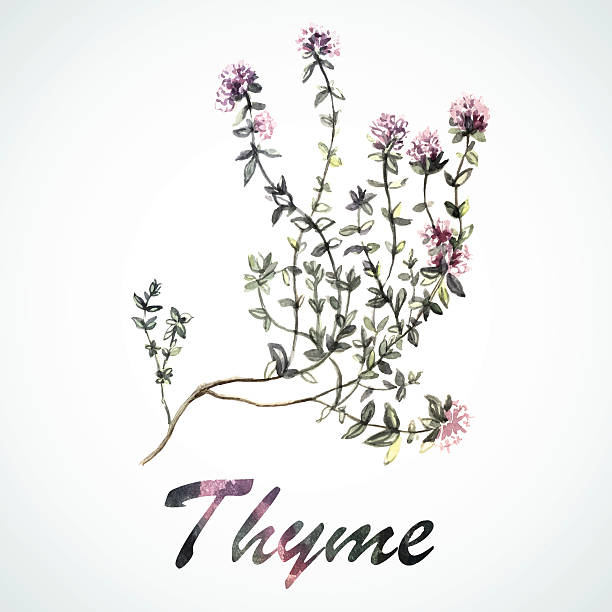 Vector watercolor Thyme Vector watercolor Thyme. Botanical Illustration. Watercolor. Vector illustration. Illustration for greeting cards, invitations, and other printing projects. thyme stock illustrations