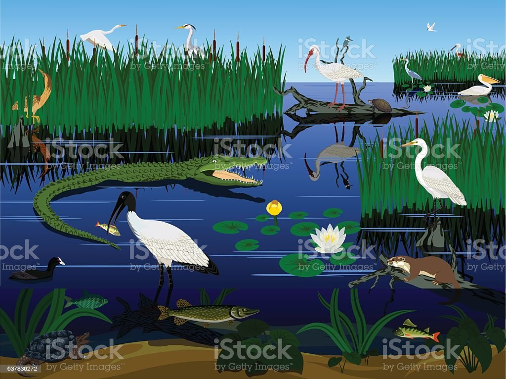 vector wetland Pantanal Florida Everglades landscape with animals vector art illustration