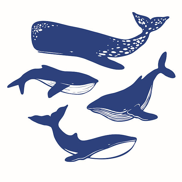 vector whales Four different whales: cachalot, orca, big blue whale, vector silhouettes beluga whale stock illustrations