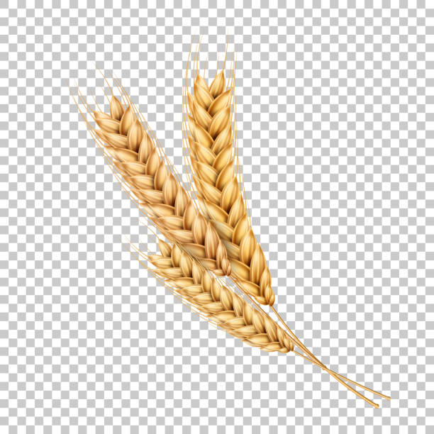 Vector wheat ears spikelets realistic with grains Vector wheat ears spikelets with grains. Realistic oat bunch, yellow sereals for backery, flour production design. Whole stalks, organic vegetarian food packaging element. Transparent background bread backgrounds stock illustrations