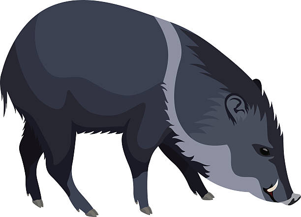 vector wild pig peccary - javelina stock illustrations