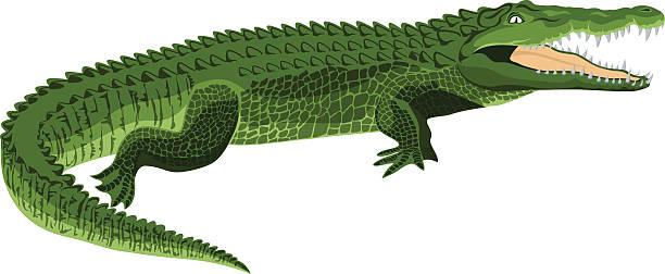 vector wildlife crocodile - crocodile stock illustrations
