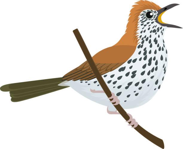 ilustrações de stock, clip art, desenhos animados e ícones de vector wood thrush (hylocichla mustelina) - song thrush