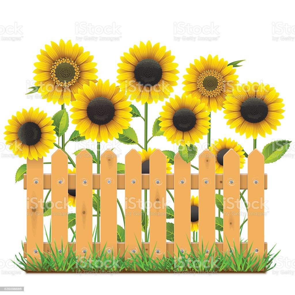 Garden Stock Image Image Of Design: 벡터 압살했다 울타리 해바라기 일러스트 535598886