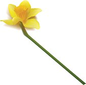 Vector yellow daffodil on white background