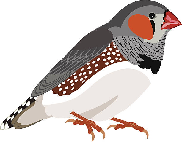 Best Zebra Finch Illustrations, Royalty-Free Vector ...