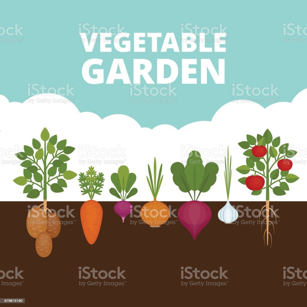 Vegetable garden banner. Organic and healthy food. Poster with root veggies. Flat style, vector illustration. vector art illustration