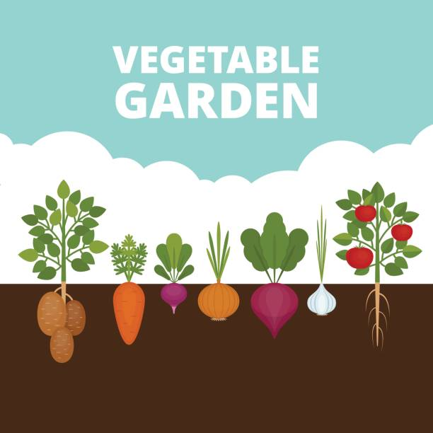 ilustrações de stock, clip art, desenhos animados e ícones de vegetable garden banner. organic and healthy food. poster with root veggies. flat style, vector illustration. - gardening
