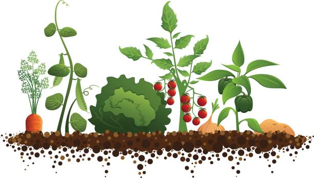 vegetable garden - cherry tomato stock illustrations