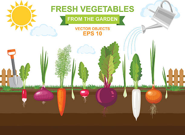Royalty Free Beet Root Clip Art, Vector Images ...