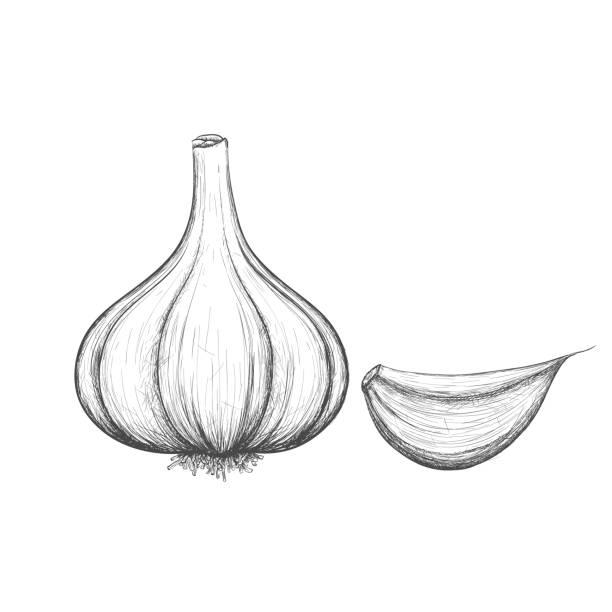 best garlic clove illustrations royaltyfree vector