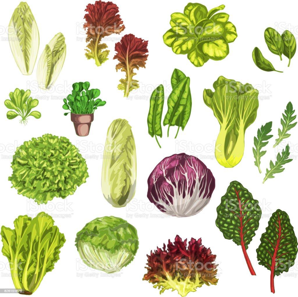 Vegetais verdes, folhas de salada, conjunto aquarela de ervas - ilustração de arte em vetor