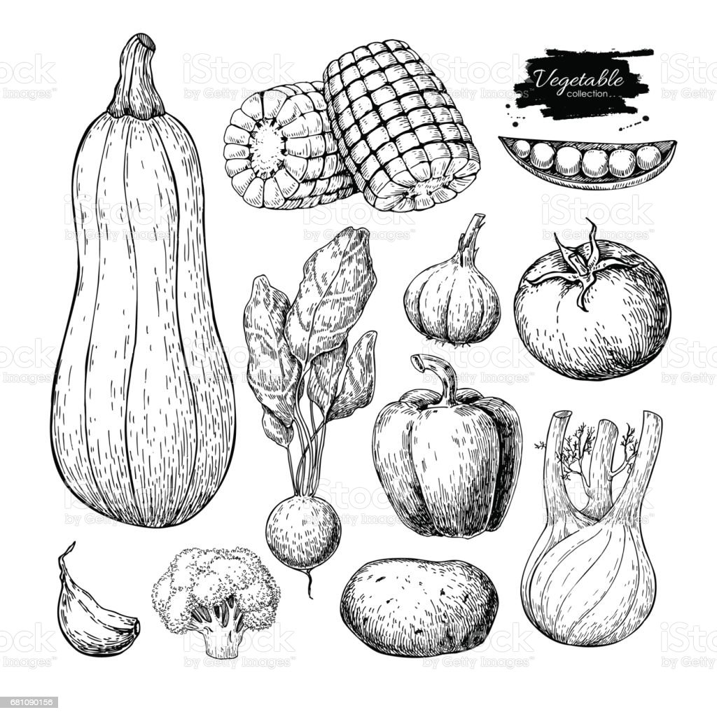 Vegetable hand drawn vector set. Isolated vegatarian engraved st royalty-free vegetable hand drawn vector set isolated vegatarian engraved st stock vector art & more images of beet