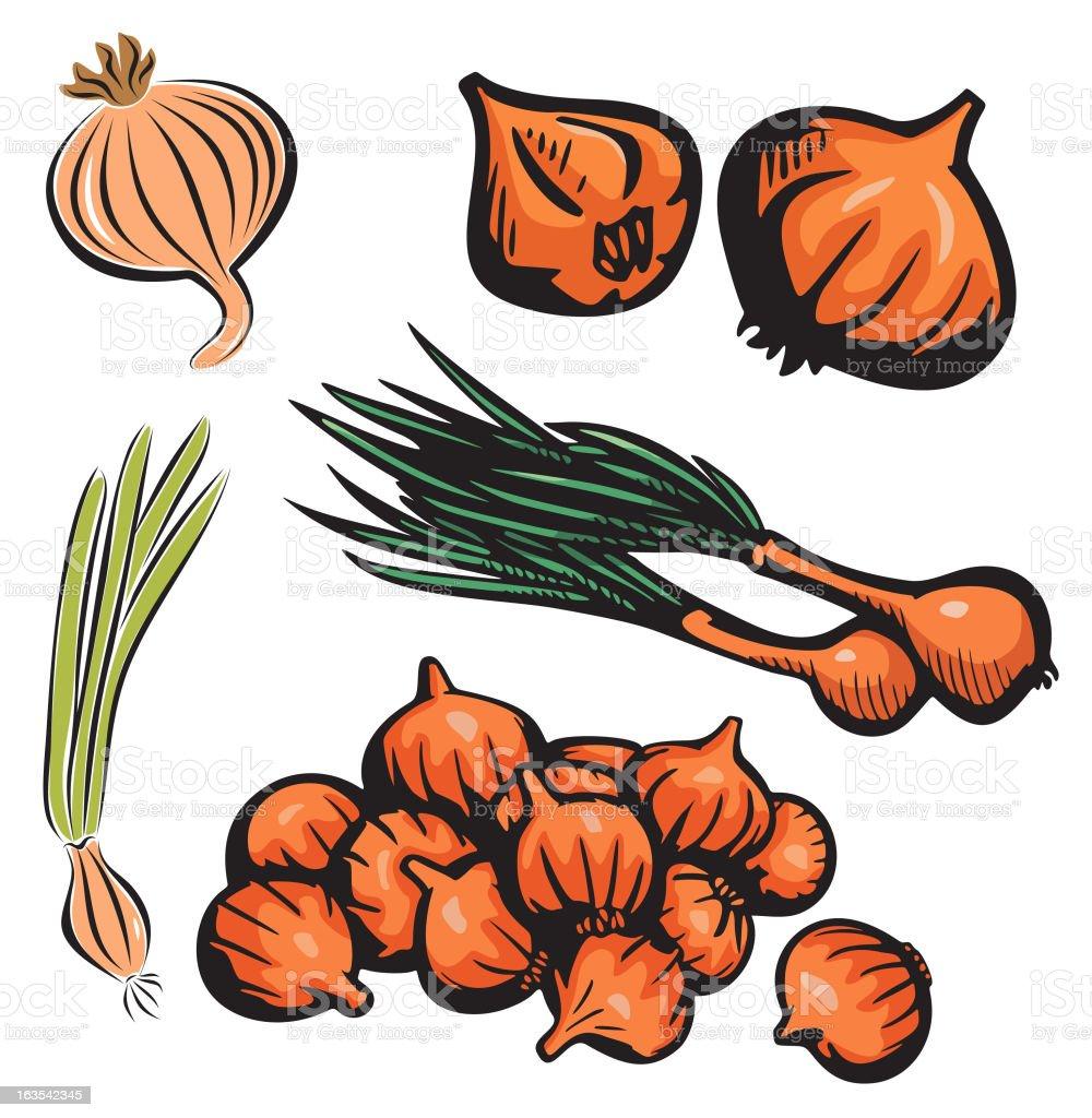 Vegetable Illustrations XVIII: Onions (Vector) royalty-free stock vector art