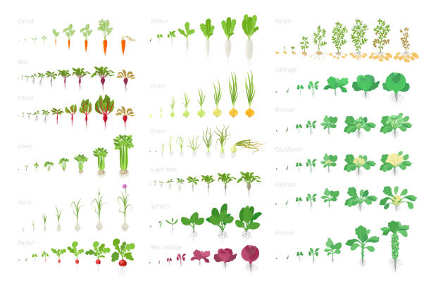 Vegetables agricultural plant, growth big set animation. Vector infographics showing the progression growing plants. Growth stages planting. Carrots celery garlic onions cabbage potatoes and many other. Vegetables agricultural plant, growth big set animation. Vector infographics showing the progression growing plants. Growth stages planting. Flat stock clipart. Carrots celery garlic radishes, onions cabbage potatoes and many other. radish stock illustrations