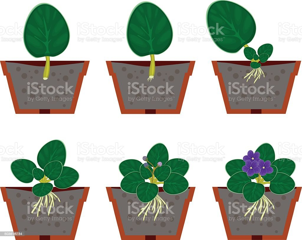 How can an african violet reproduce asexually