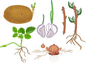 istock Vegetative reproduction of plants. Tubers, bulbs, stem and daughter plant isolated on white background 1209515740