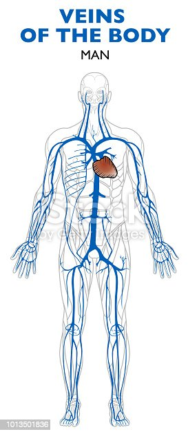 Veins In The Body Anatomy Human Body Stock Vector Art More Images