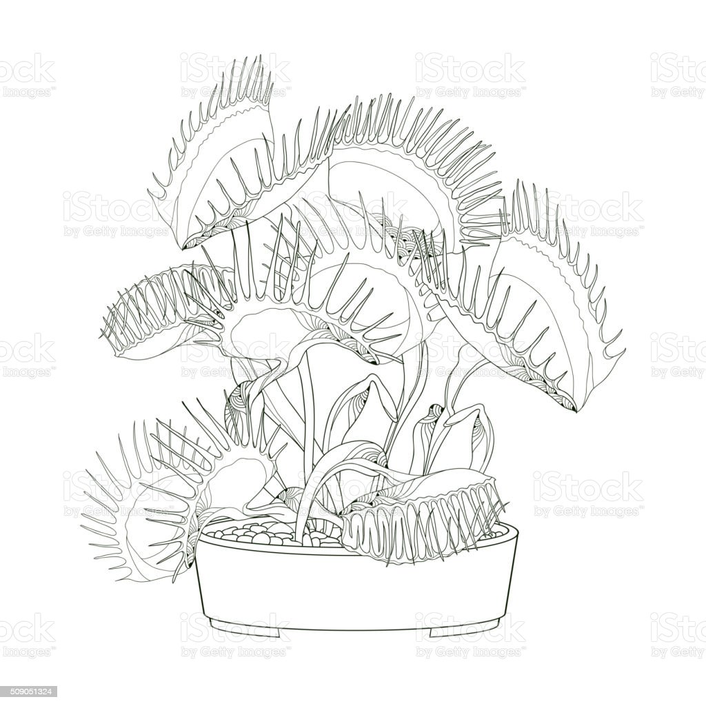 Venus Flytrap In The Round Flowerpot Isolated On White Background ...