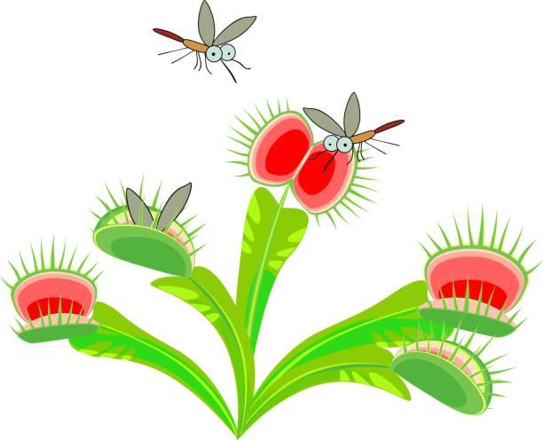 venusfliegenfalle oder dionaea muscipula und mücken. fleischfressende pflanze - mückenfalle stock-grafiken, -clipart, -cartoons und -symbole